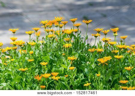 Calendula, Or Marigold (calendula), - Wonderful Orange