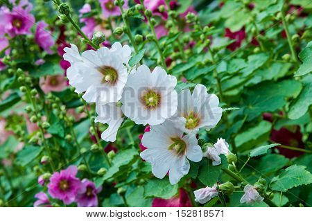 Mallow Flowers. A Herbaceous Plant With Hairy Stems, Pink Or Purple Flowers, And Disk-shaped Fruit.