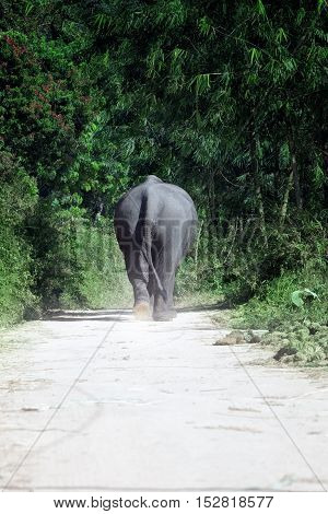 view of  big asian elephant walking towards to the jungle