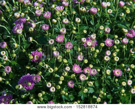 Chrysanthemum Flowers Unblown. A Popular Plant Of The Daisy Family, Having Brightly Colored Ornament