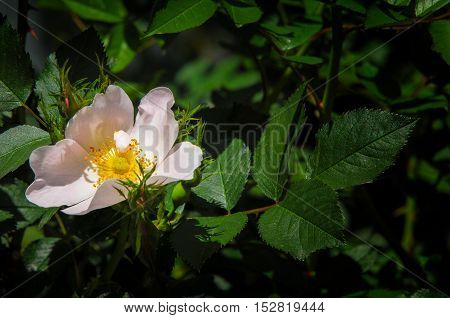 Canker-bloom. Blooming Crimean Briar Closeup, Local Focus, Shallow Dof