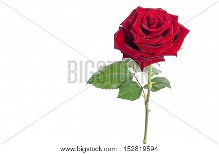 Beautiful Velvet Rose Isolated On White Background.