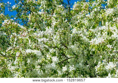 Apple Trees Color. The Seed-bearing Part Of A Plant, Consisting Of Reproductive Organs (stamens And