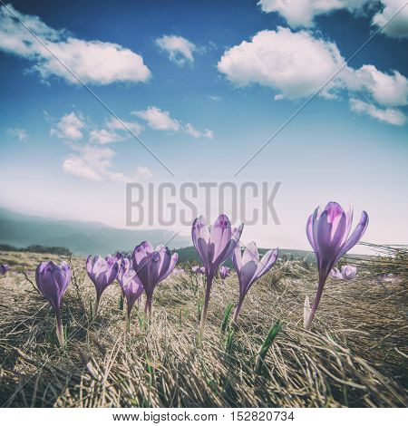 Purple crocus in high mountain, toned like Instagram filter