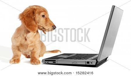 Dachshund puppy looking at a laptop monitor.