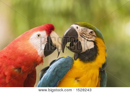 Two Macaws Together