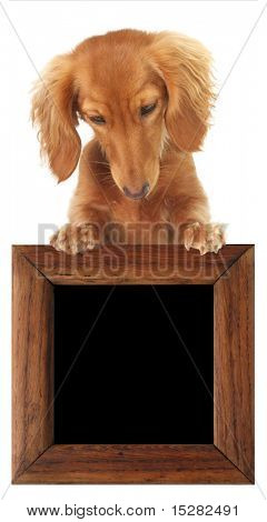Dachshund puppy looking down at your text or product.  Studio isolated.