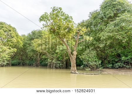 Swamp Forest Ratargul