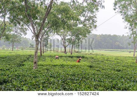 Women Picks Tea Leafs On The Tea Garden
