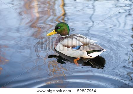 Photo of a wild duck floating on park lake