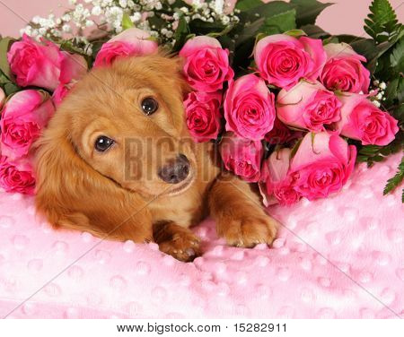 Valentine puppy on a bed of roses.
