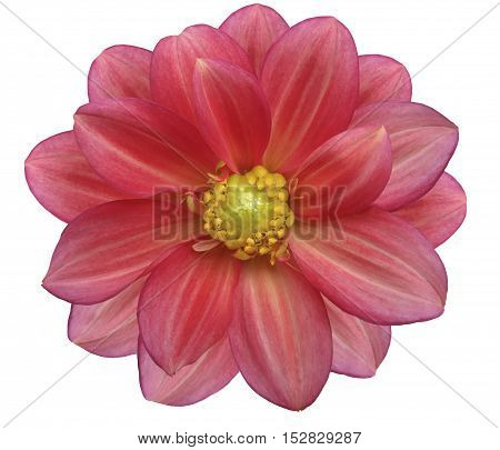 pink and red flower garden white isolated background with clipping path. Nature. Closeup no shadows. yellow center.