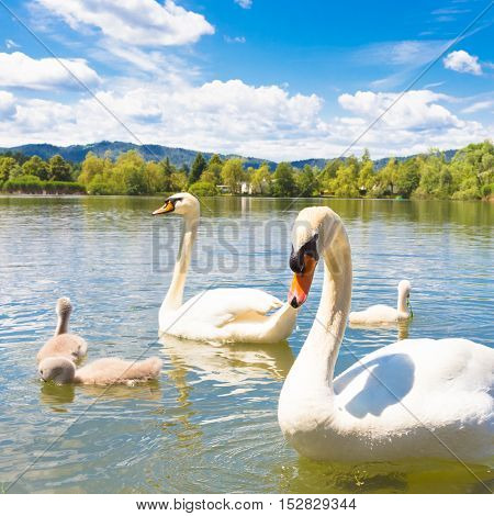 Swan family swimming in Koseze Pond or Martinek Pond or Lake Koseze is an artificial pond at the edge of Ljubljana, the capital of Slovenia.