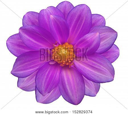 purple flower garden white isolated background with clipping path. Nature. Closeup no shadows. yellow center.