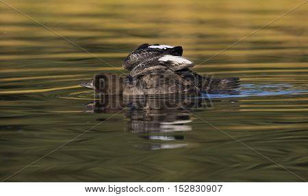 Goldeneye duck wing stretch in golden water at Schwabacher's Landing