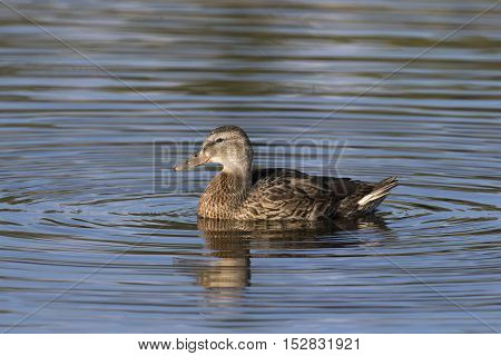 Profile of female mallard duck in blue water with concentric circles