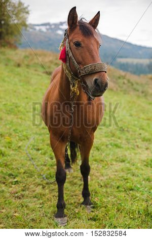 Brown horse in a pasture in the mountains