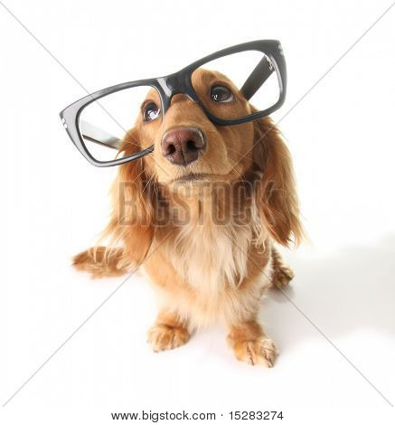 Dachshund with eyeglasses looking upwards.