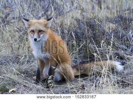 Red fox sitting in grass with direct stare