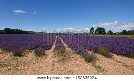 Lavender field in France,  provance