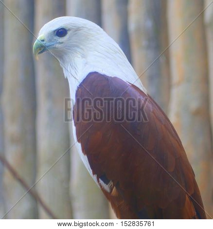 profile head and body of adult Brahminy Kite perching in an aviary