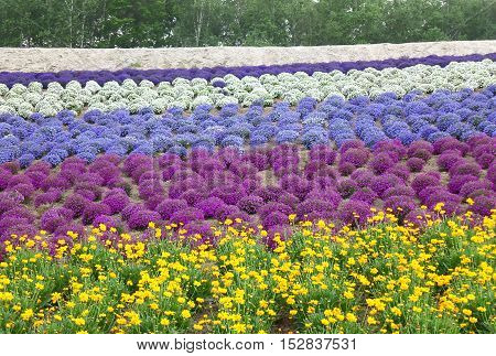 Vivid color of purple and yellow flower field in the countryside of Hokkaido, Japan