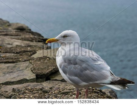 A seagull sitting on a stone wall on the side of Slea Head, County Kerry, Ireland.  This particular gull comes back every day hoping for handouts.  The locals know him as Oscar.