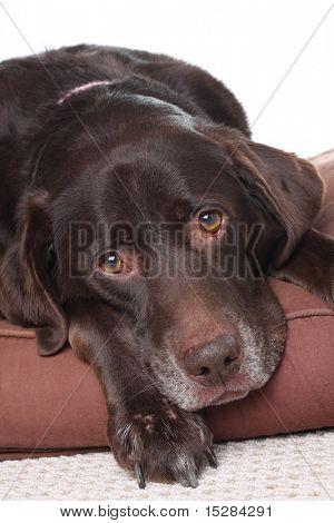 Very sad looking old labrador.
