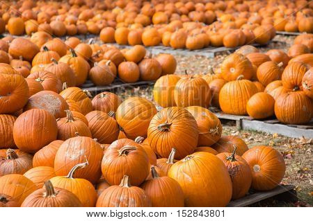 Many pumpkins displayed on pallets for sale at local store.