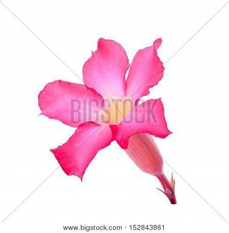 Desert Ros Impala Lily Mock Azalea flower isolated on white