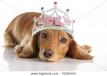 Dachshund wearing a princess crown. Studio isolated.