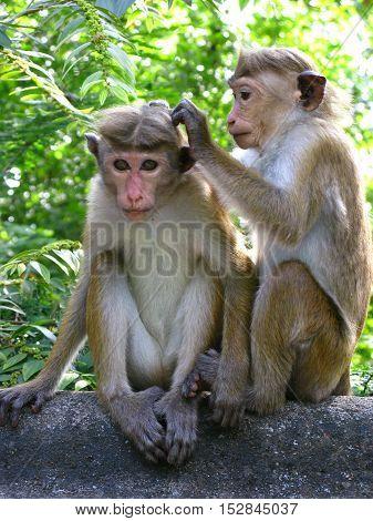 Funny monkey next to a Buddhist temple, Sri Lanka