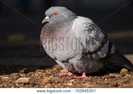Close up of a beautiful relaxing pigeon