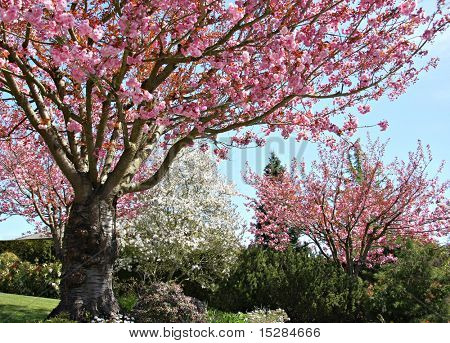 Gorgeous early spring blooming cherry trees in pink and white.