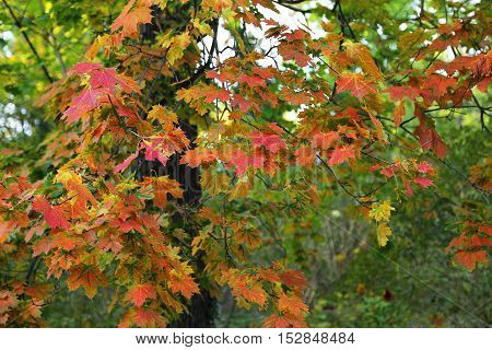 Beautiful autumn maple tree with bright colorful foliage