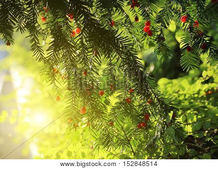Red berries growing on evergreen yew tree in sunlight European yew (taxus baccata) tree
