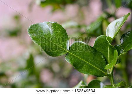 closeup of kaffir lime leaves on tree