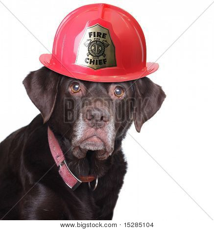 Old labrador retriever wearing a fire fighter helmet, studio isolated on white.