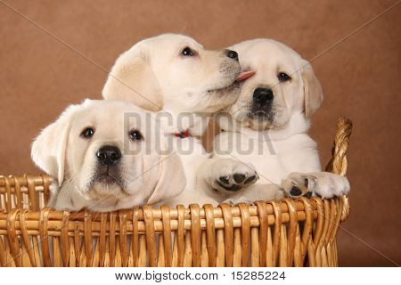 Three labrador puppies in a basket.