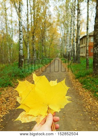 A bunch of yellow maple leaves in a hand