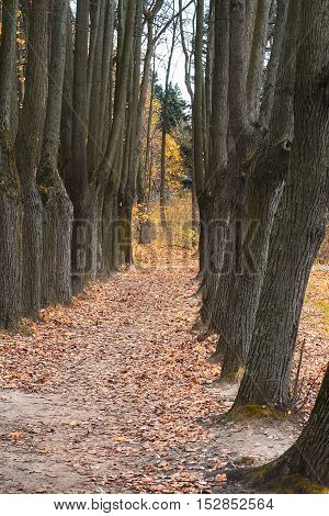 the mighty oaks trees grow along the alley in the autumn Park
