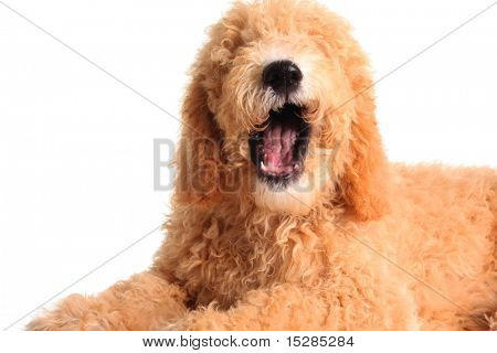 Golden doodle with it's mouth open as if speaking.