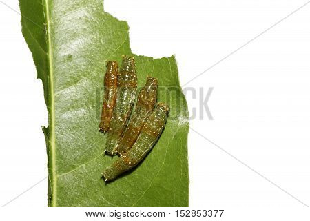 Mature 4Th Instar Caterpillars Of Banded Swallowtail Butterfly (papilio Demolion)