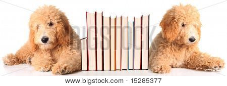 Two golden doodle puppies as bookends.