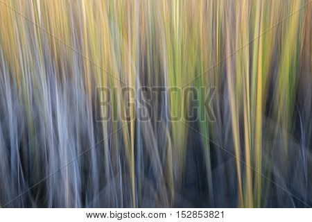 reed on a lake shore  - nature motion blur abstract created by intentional camera movement