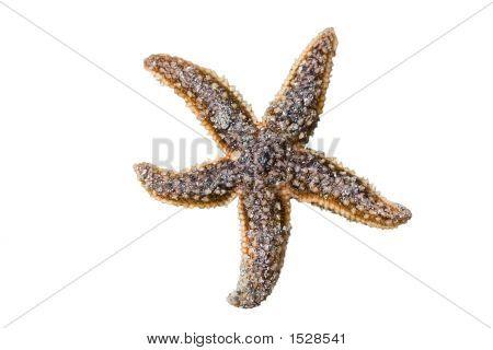 Seastar Starfish