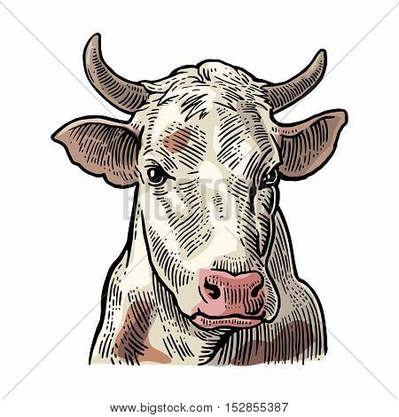 Cows head. Hand drawn in a graphic style. Vintage vector color engraving illustration for label poster web. Isolated on white background