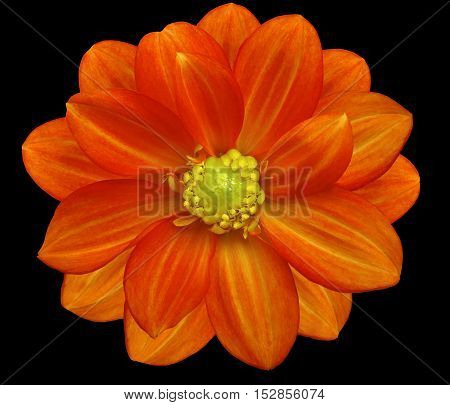 red flower garden black isolated background with clipping path. Nature. Closeup no shadows. yellow center.