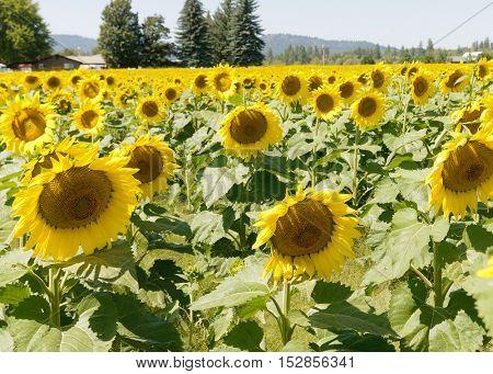 Field of Sunflowers in Eastern Washington