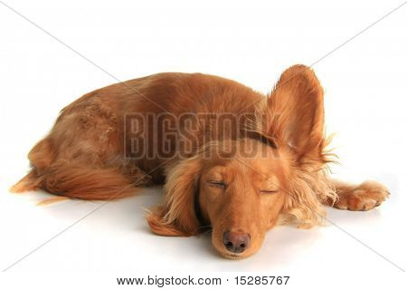 Sleepy dachshund dog listening with one ear up.